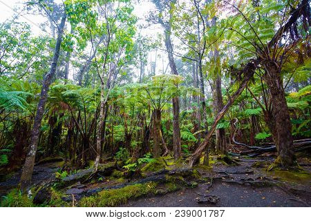 Rainforest Scenic Near The Thurston Lava Tube In Hawaii Volcanoes National Park.