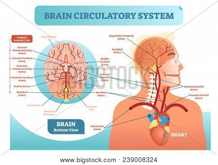 Brain Circulatory System Anatomical Vector Illustration Diagram. Human Brain Blood Vessel Network Sc