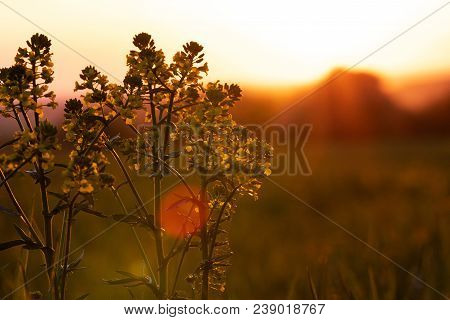 French Landscape - Vosges. Blooming Canola Flowers Closeup At Sunset.