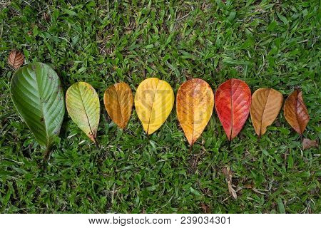 Autumn Leaf Transition And Variation Concept For Fall And Change Of Season. They Are In One Line