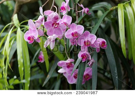 Phalenopsis orchids, or moth orchids in bloom in a garden