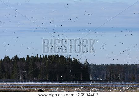 Ducks And Geese In Hundreds. Flocks Of Migrating Birds Moves Above The Countryside. Whooper Swan Thi