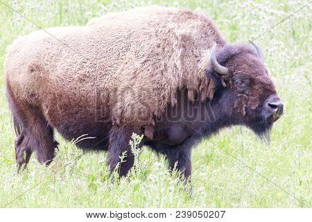 American Bison (buffalo) Cow Grazing. Bison Paddock, Golden Gate Park, San Francisco, California, Us