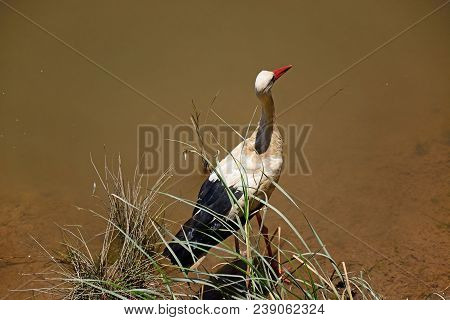 Adult Stork Wading In The River Arade, Silves, Portugal, Europe.