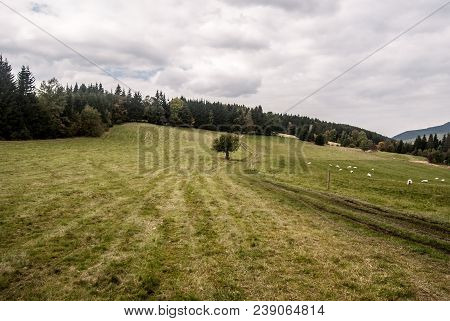 Autumn Meadow With Feeding Sheep, Isolated Tree, Trail, Forest On The Background And Blue Sky With C