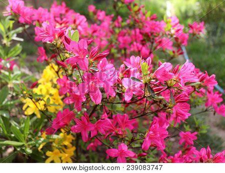 Big Pink Azalea Or Rhododendron In A Organic Garden, Season Of Flowering Azaleas . Azaleas Are Shade