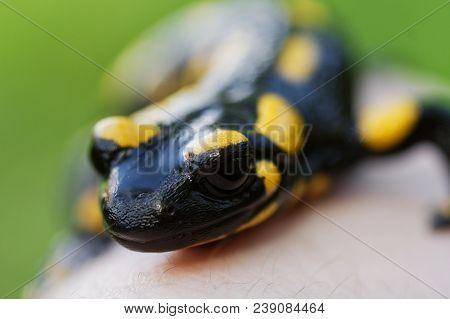 Fire Salamander (salamandra Salamandra) On A Hand