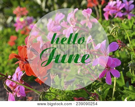 Hello June Welcoming Card With Hand Written Lettering On Natural Floral Geraniums Blurry Background.