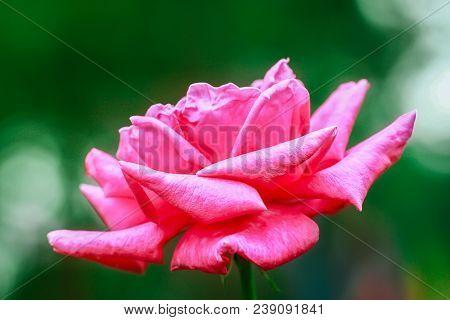 Pink Garden Rose. Pink Rose. Rose Background. Pink Rose Background. Romantic Background. Lovely Pink