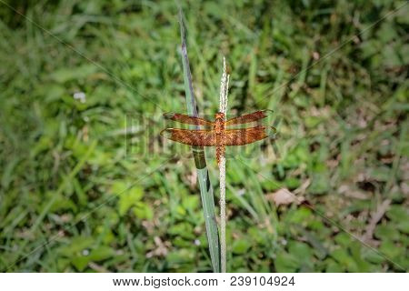 Orange Dragonfly With Open Wings Resting On A Plant With Greenery Background