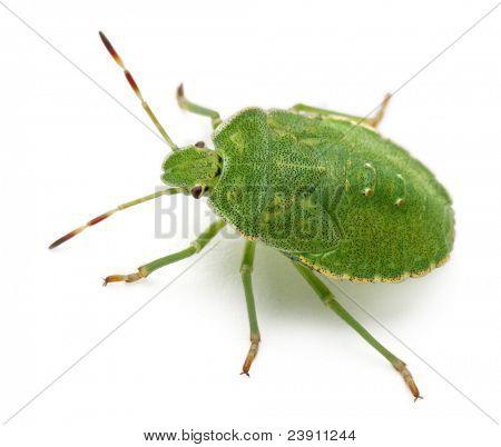 Green shield bug, Palomena prasina, in front of white background