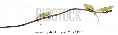 Three Mt. Meru Jackson's Chameleons, Chamaeleo jacksonii merumontanus, partially shedding and perched on branch in front of white background