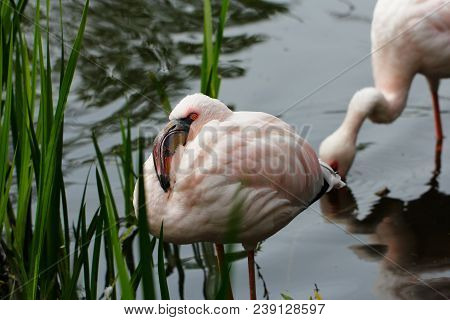 Close-up Of Flamingos Wading In Pond. Photography Of Wildlife