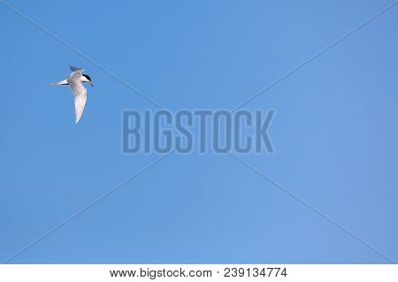 Blue Sky Background With A Tern Flying Into Frame From Left.  Ample Room For Copy.