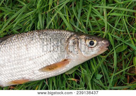 View Of Single Freshwater Common Nase Fish On Green Grass..