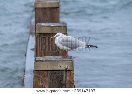 Single Black Headed Gull In Winter Pearched On A Wooden Groyne