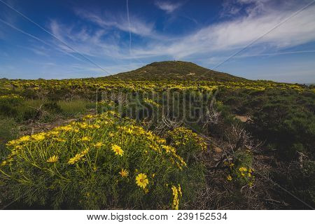Beautiful Yellow Wildflowers Blooming And Covering The Peak Of Point Dume In Springtime On A Warm, S
