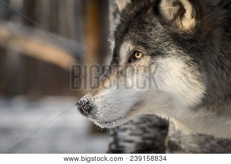Grey Wolf (canis Lupus) Close Up Profile - Captive Animal