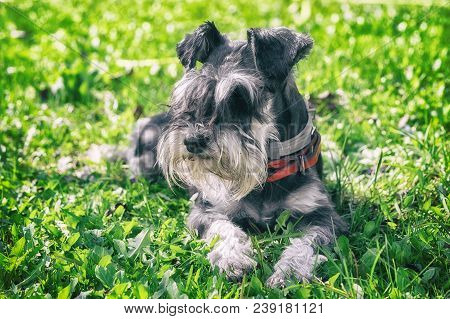Black And Silver Miniature Schnauzer Dog Laying On The Green Grass In A Sunny Day