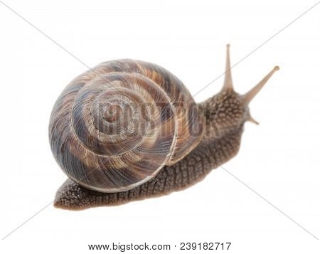 A brown garden snail isolated on white background.