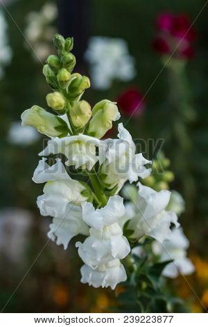 Digitalis grandiflora x purpurea Mertonensis aka Foxgloves - shallow depth of field, natural light