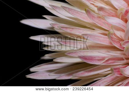Focus Beside Of Transvaal Daisy Soft Pink Flower On Black Background.