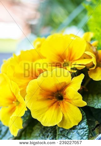 Beautiful Blooming Yellow Primrose Flowers In A Galvanised Flower Pot On Display Outside A Tradition