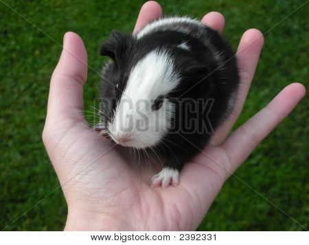 Baby Guinea Pig In Hand