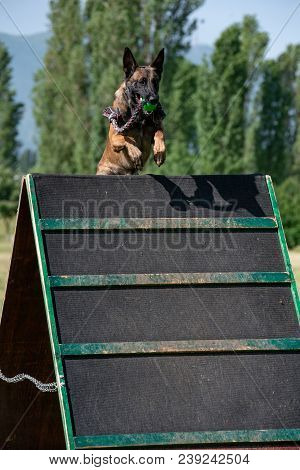 Belgian Shepherd On Agility Competition, Over The Bar Jump. Proud Dog Jumping Over Obstacle. Selecti