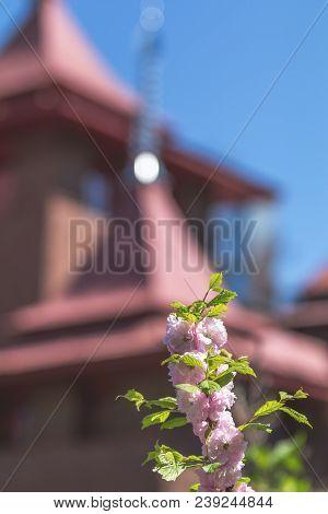 Closeup Of Pink Flower Clusters Of An Flowering Plum Or Flowering Almond In Full Bloom In Spring. Be