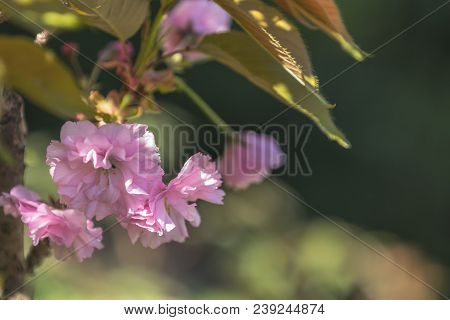 Close Up Of Pink Blossom Cherry Tree Branch, Sakura, During Spring Season On Pink Background. Beauti