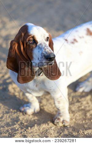 Basset Hound Puppy Female Close-up. Off-leash Dog Park In California.