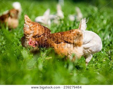 chicken on green grass