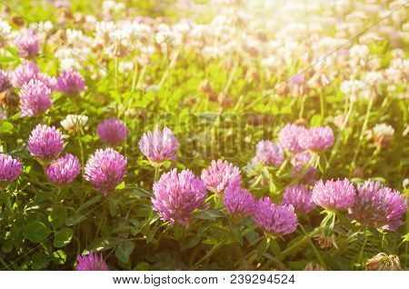 Summer sunset meadow landscape with summer pink clover flowers lit by warm summer sunlight. Selective focus at the lower clover flowers. Sunny summer meadow with blooming clover flowers