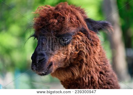 Close-up Of  Domesticated Alpaca (vicugna Pacos) Species Of South American Camelid.