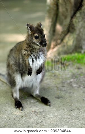 Full Body Of The Young Of A Kangaroo. Photography Of Wildlife.