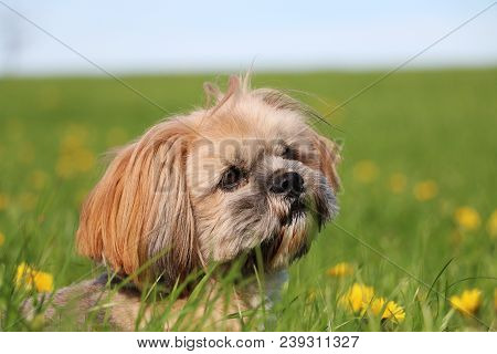 Small Lhasa Apso Is Lying In A Field Of Dandelions