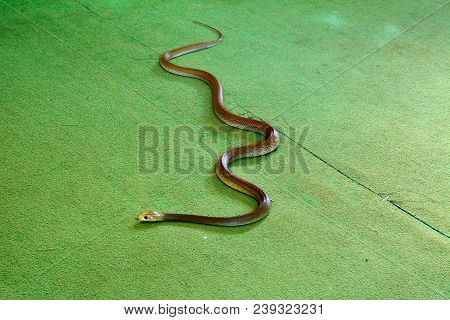 Eastern brown snake (Pseudonaja textilis) indoor on green carpet floor with blurred head, in motion. Eastern brown snake is an extremely venomous snake found in Australia. poster