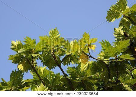 Breadfruit Leaves On Blue Sky , The Tropical Breadfruit Tree Against Blue Sky
