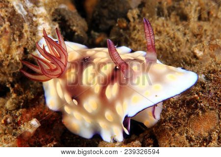 Goniobranchus Hintuanensis Nudibranch (chromodoris Hintuanensis). Anilao, Philippines