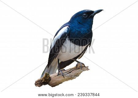 Bird Isolate Black And White Oriental Magpie Robin Birds Fly Blurry