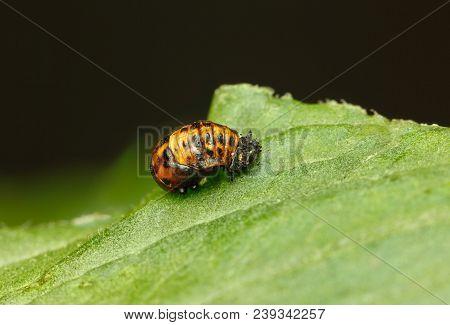 Coccinella Septempunctata Pupa