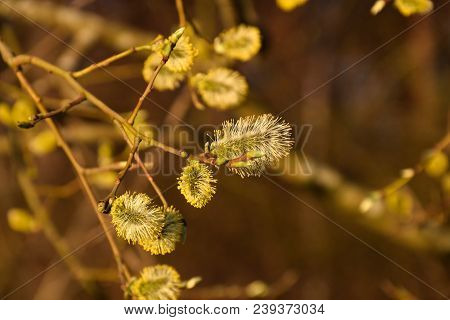 Beautiful Sunlit Willow Catkins Close Up At Springtime
