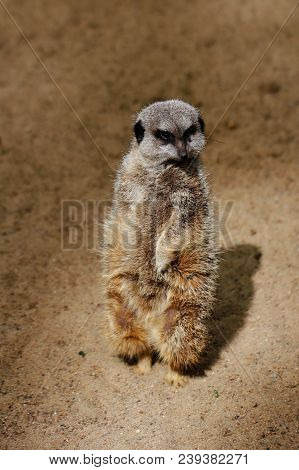 A Full Body Of A Wild African Meerkat From Front. Photography Of Wildlife.