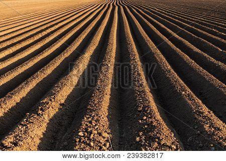 Potato Field In The Early Spring With The Sowing Rows Running To The Horizon Lit From One Side At Su