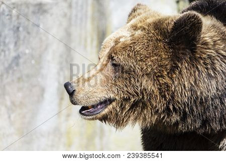 Brown Bear On The Background Of Gray Rocks