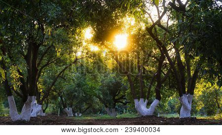 Sunset Seen From The Forest, Sunlight Traversing The Branches Of The Trees