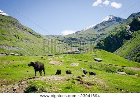 Black cows on mountain pasture