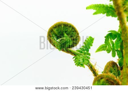 Close Up View Of Young Spiral Form Expanding Wet Fern On White Background