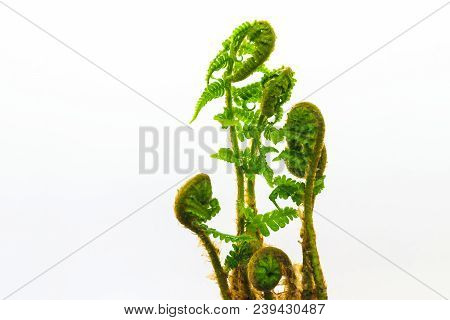 Close Up View Of Young Spiral Form Expanding Wet Ferns On White Background